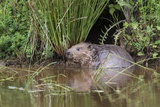 Eurasian Beaver (Castor Fiber), Captive in Breeding Programme, United Kingdom, Europe Photographic Print by Ann and Steve Toon