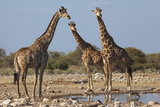 Giraffe (Giraffa Camelopardalis) Gathered at Waterhole, Etosha National Park, Namibia, Africa Photographic Print by Ann and Steve Toon
