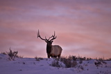 Bull Elk (Cervus Canadensis) at Sunset in the Winter Photographic Print by James Hager