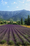 Crop of Lavender, Le Plateau De Sault, Provence, France Photographic Print by Guy Thouvenin