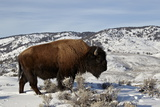 Bison (Bison Bison) Bull in the Winter Photographic Print by James Hager