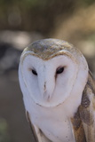 Close Up of a Common Barn Owl (Tyto Alba) Photographic Print by Richard Maschmeyer