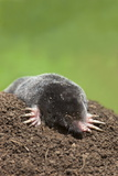 European Mole (Talpa Europea), Controlled, United Kingdom, Europe Photographic Print by Ann and Steve Toon