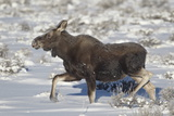 Moose (Alces Alces) Calf on a Winter Morning Photographic Print by James Hager