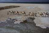 Salt Caravan in Djibouti, Going from Assal Lake to Ethiopian Mountains, Djibouti, Africa Photographic Print by Olivier Goujon