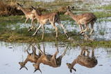 Impalas (Aepyceros Melampus), Okavango Delta, Botswana, Africa Photographic Print by Sergio Pitamitz
