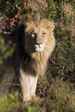 Male Lion (Panthera Leo), Masai Mara National Reserve, Kenya, East Africa, Africa Photographic Print by Angelo Cavalli