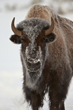 Bison (Bison Bison) Cow in the Winter Photographic Print by James Hager