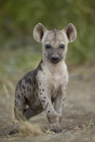 Spotted Hyena (Spotted Hyaena) (Crocuta Crocuta) Cub, Kruger National Park, South Africa, Africa Photographic Print by James Hager