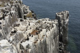 Guillemots, Kittiwakes and Shags on the Cliffs of Staple Island, Farne Islands Photographie par James Emmerson