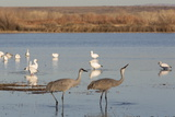 Greater Sandhill Cranes (Grus Canadensis Tabida) in Foreground Photographic Print by Richard Maschmeyer