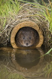 Water Vole (Arvicola Terrestris), Captive, United Kingdom, Europe Photographic Print by Ann and Steve Toon