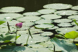 Water Liliy at Yuanmingyuan (Old Summer Palace), Beijing China, Asia Photographic Print by Christian Kober