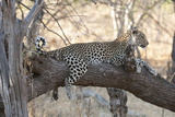 Leopard (Panthera Pardus), Okavango Delta, Botswana, Africa Photographic Print by Sergio Pitamitz