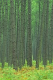 Pine Forest, Landes, Aquitaine, France Photographic Print by Michael Busselle