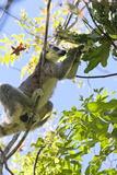 Ringtailed Lemur in Anja National Park, Ambalavao, Madagascar, Africa Photographic Print by Lynn Gail