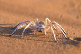 Dancing White Lady Spider (Leucorchestris Arenicola), Namib Desert, Namibia, Africa Photographic Print by Ann and Steve Toon