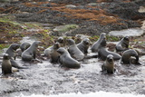 Cape Fur Seals (Arctocephalus Pusillus Pusillus) Photographic Print by David Jenkins