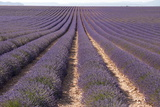 Lavender Fields, Valensole, Provence, France, Europe Photographic Print by Sergio Pitamitz