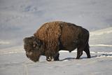 Bison (Bison Bison) Bull in the Snow Fotografisk trykk av James Hager