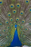 Peacock Displaying Tail Feathers, United Kingdom, Europe Photographic Print by Neale Clarke