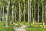 Gespensterwald (Ghost Forest) Near Nienhagen, Baltic Sea, Mecklenburg-Vorpommern, Germany, Europe Fotografisk tryk af Jochen Schlenker