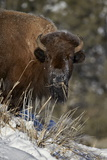 Bison (Bison Bison) Cow Eating in the Winter Photographic Print by James Hager