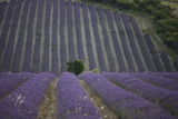 Lavender Fields, Sault En Provence, Vaucluse, Provence, France, Europe Photographic Print by Angelo Cavalli