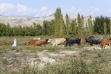 Azeri Farmer Driving Cattle, Goechay, Azerbaijan, Central Asia, Asia Photographic Print by  Godong