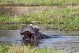 Hippopotamus (Hippopotamus Amphibius), Okavango Delta, Botswana, Africa Photographic Print by Sergio Pitamitz