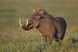 Male Warthog (Phacochoerus Aethiopicus), Ngorongoro Crater, Tanzania, East Africa, Africa Photographic Print by James Hager