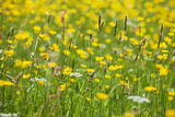 Grasses and Flowers in a Buttercup Meadow at Muker Photographic Print by Mark Sunderland