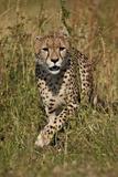 Cheetah (Acinonyx Jubatus), Kruger National Park, South Africa, Africa Fotografisk tryk af James Hager