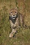 Cheetah (Acinonyx Jubatus), Kruger National Park, South Africa, Africa Photographic Print by James Hager
