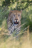 Male Leopard (Panthera Pardus), Phinda Game Reserve, Kwazulu Natal, South Africa, Africa Photographic Print by Ann and Steve Toon