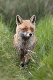 Red Fox (Vulpes Vulpes) Captive, United Kingdom, Europe Photographic Print by Ann and Steve Toon