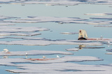 Radio Collared Female Polar Bear (Ursus Maritimus) with Fresh Seal Kill on Ice in Hinlopen Strait Photographic Print by Michael Nolan