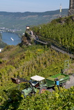 Grape Harvesting Overlooking Mosel Valley at Bernkastel-Kues, Rhineland-Palatinate, Germany, Europe Lámina fotográfica por Charles Bowman