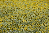 Sunflowers, Provence, France, Europe Photographic Print by Angelo Cavalli