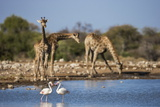 Giraffe (Giraffa Camelopardalis) Photographic Print by Ann and Steve Toon
