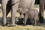 Elephant (Loxodonta Africana) Calf, Chobe National Park, Botswana, Africa Photographic Print by Sergio Pitamitz