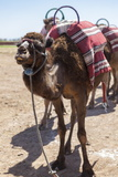A Camel Just Outside of Marrakesh, Morocco, North Africa, Africa Photographic Print by Charlie Harding