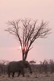 African Elephant (Loxodonta Africana), Savuti, Chobe National Park, Botswana, Africa Photographic Print by Sergio Pitamitz