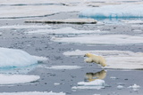 Mother Polar Bear (Ursus Maritimus) Leaping from Ice Floe to Ice Floe in Olgastretet Off Barentsoya Photographic Print by Michael Nolan