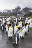 King Penguins (Aptenodytes Patagonicus) Breeding and Nesting Colony at Gold Harbour Photographic Print by Michael Nolan