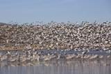 Lesser Snow Geese (Chen Caerulescens Caerulescens) in Flight Photographic Print by Richard Maschmeyer