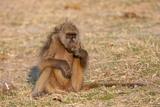 Chacma Baboon, Chobe National Park, Botswana, Africa Photographic Print by Sergio Pitamitz