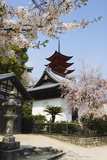 Spring Cherry Blossom at Senjokaku Five Storey Pagoda Photographic Print by Christian Kober