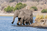 Elephants (Loxodonta Africana), Chobe National Park, Botswana, Africa Photographic Print by Sergio Pitamitz