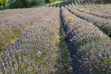 Lavender Fields, Sault, Provence, France, Europe Photographic Print by Sergio Pitamitz